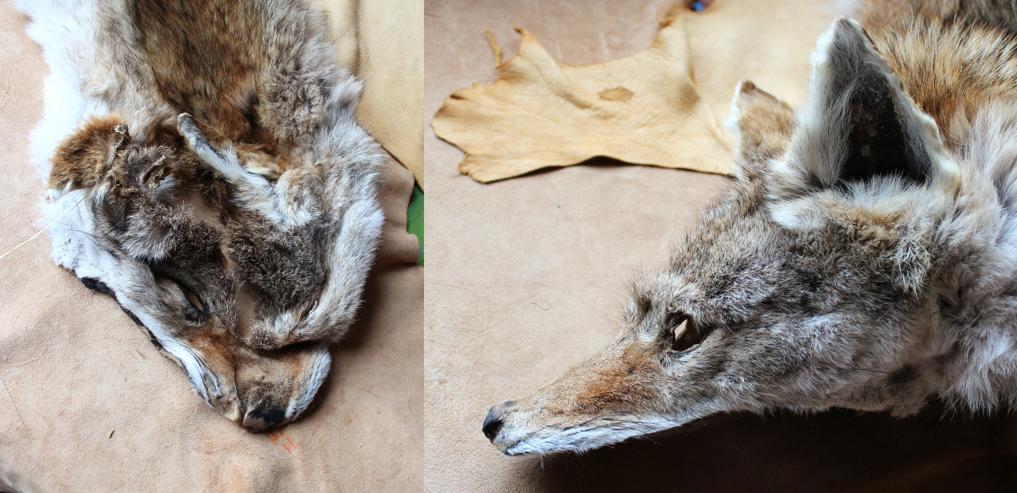 coyotebeforeafter