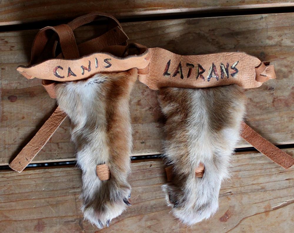 latrans2