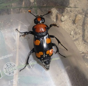 American burying beetle. From http://bit.ly/1sHaqCW.